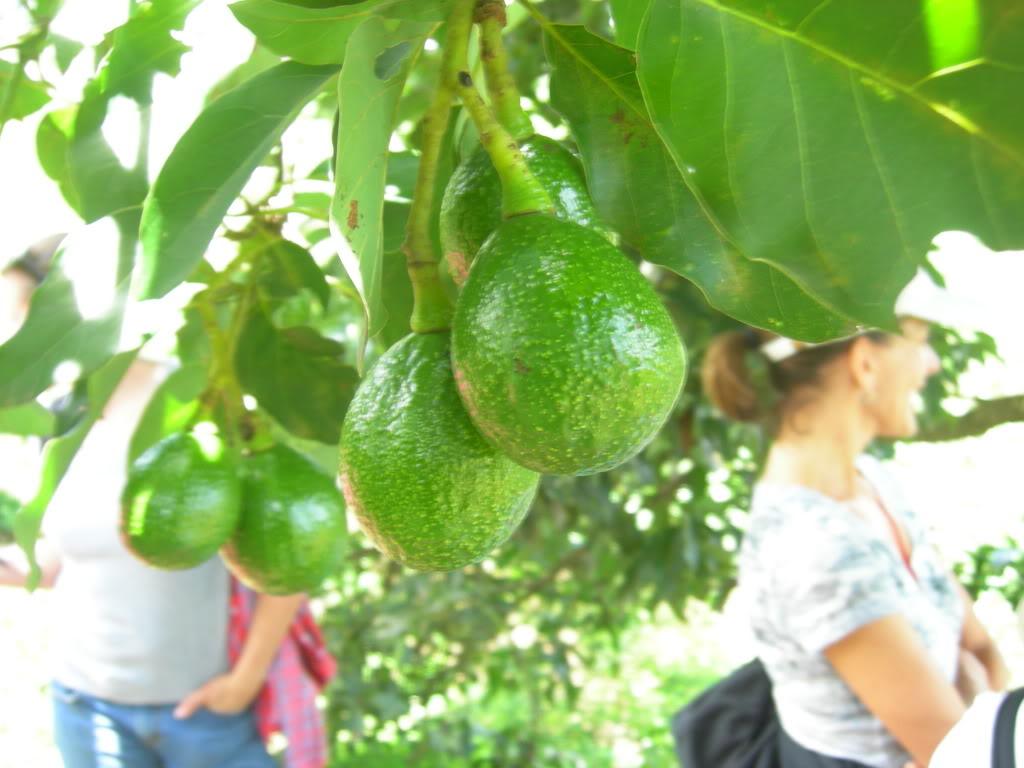 Из серии ''Дары тропиков''.  Чем полезно авокадо?