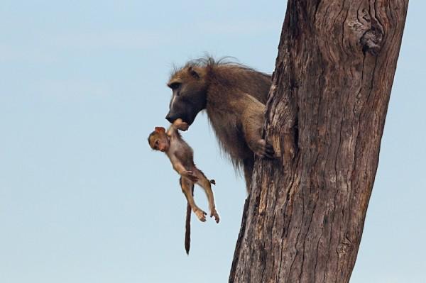 Львица убила бабуина, но то что произошло дальше повергло в шок фотографа