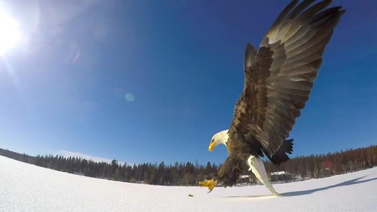 Как белоголовый орлан украл улов у рыбаков (видео)
