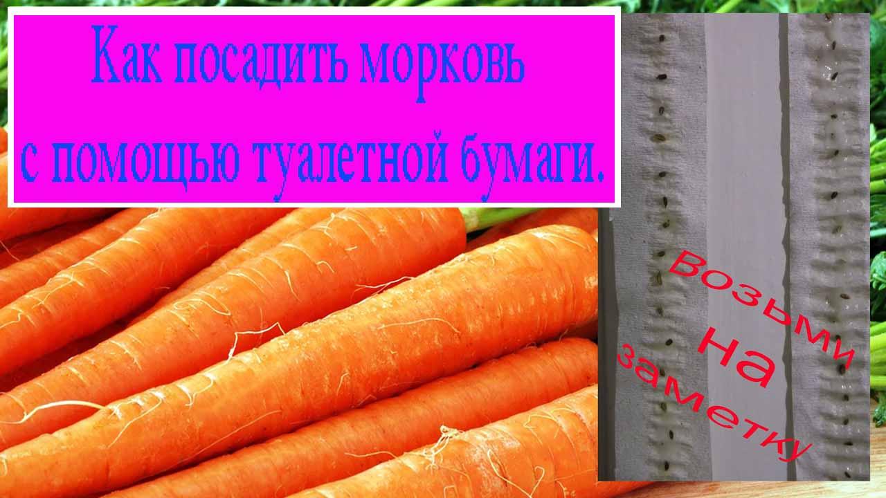 Как посадить морковь с помощью туалетной бумаги