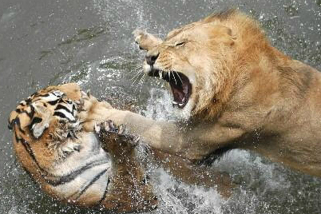 Лев против тигра: кто на деле царь зверей
