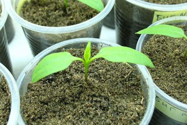 Два листочка у растения – си…