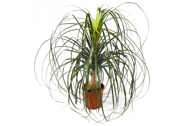 Нолина - правильный уход за пальмой