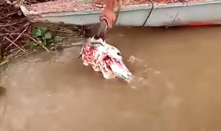 Пираньям дали мясо
