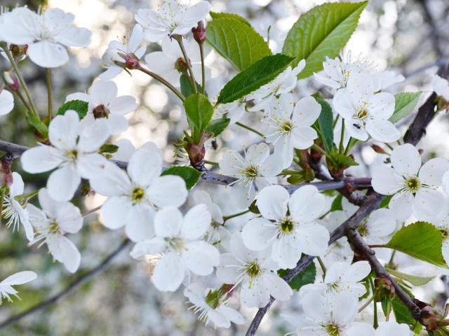 Почему дерево цветет, но не плодоносит?