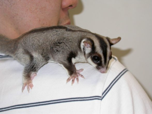 sugar_gliders-owning-1-588x441
