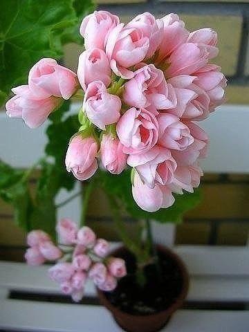 Необыкновенной красоты Герань тюльпановидная