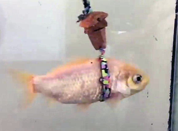 Рыбка от старости уже не могла плавать. Тогда её хозяин придумал гениальную идею...