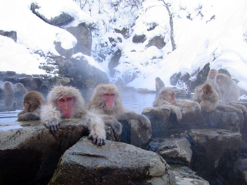Японским макакам пришлось стать канатоходцами, чтобы не заморозить лапки