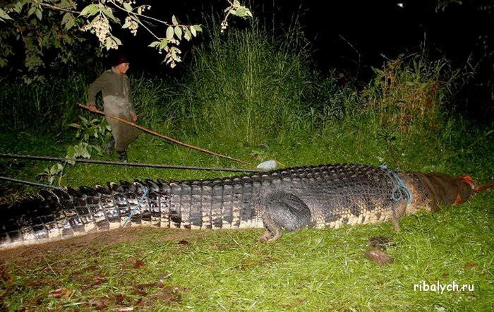 Крупнейший крокодил-людоед пойман на Филиппинах