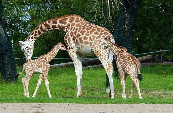 В зоопарке Великобритании родились редкие жирафы