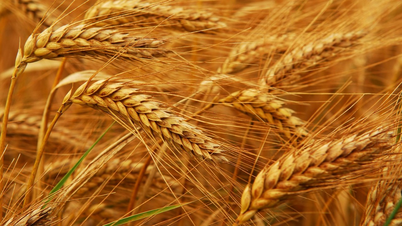 Египет снял ограничения на поставки российской пшеницы