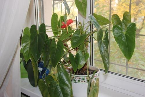 Антуриум - болезни растения