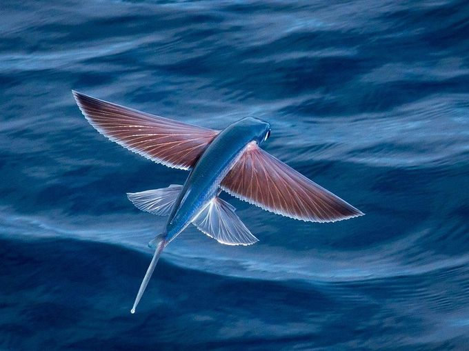 Exocoetidae — рыба, которая умеет летать