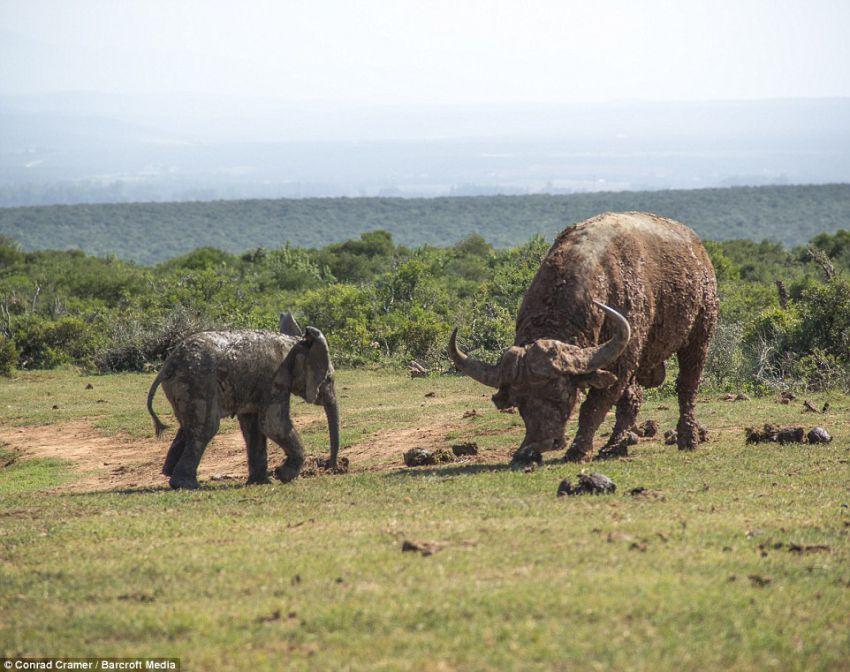 Слоненок решил поиграть с быком слон, бык, игры