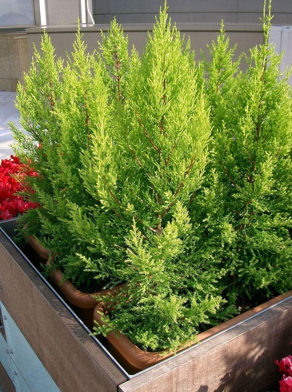 Кипарисовик. Фото с сайта sadisam.com