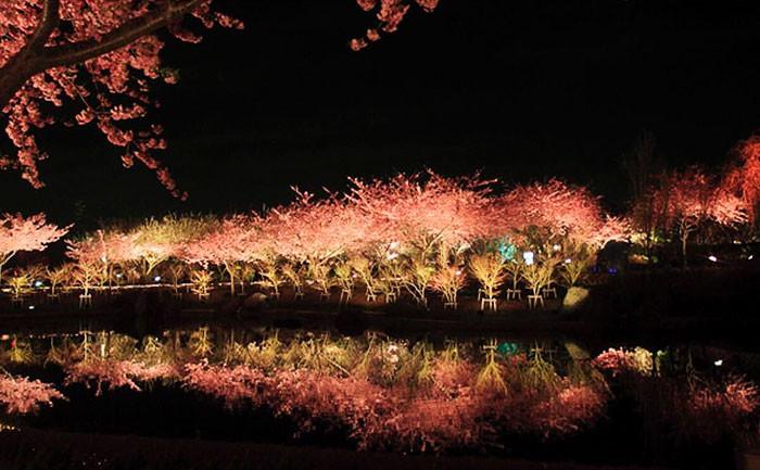 В этом японском городе уже расцвела сакура! сакура, сакура в японии, сакура фото, цветение сакуры, япония