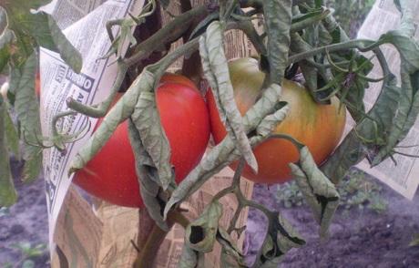 скручиваются листья у помидор