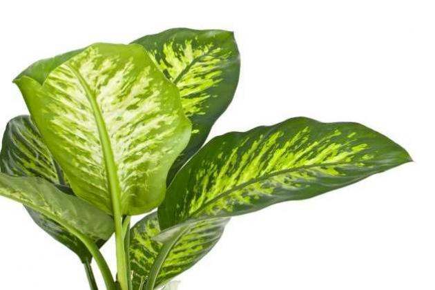 Почему у диффенбахии желтеют и опадают листья