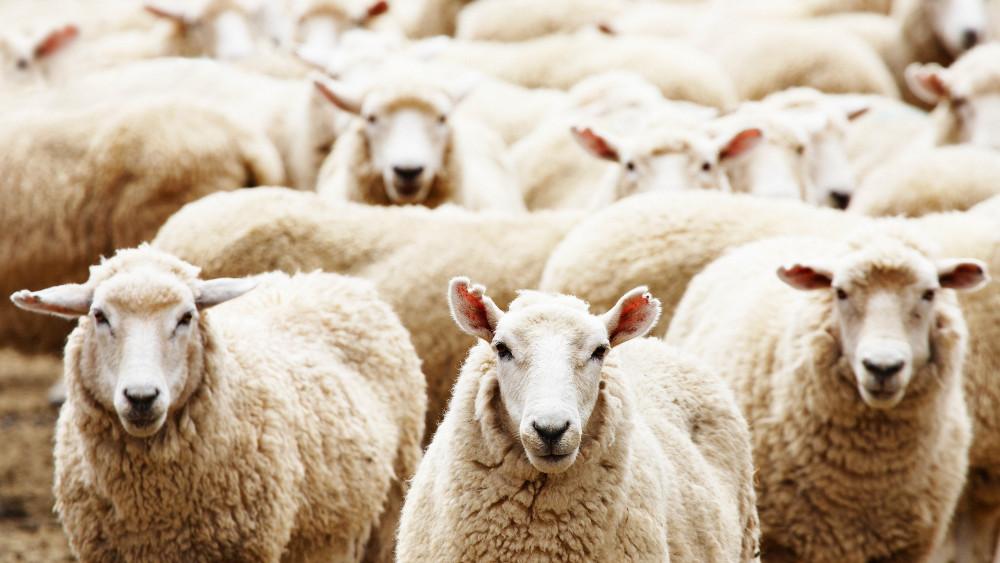 В секторе Газа 90 человек затоптали жертвенные овцы