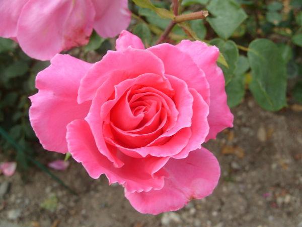 Роза сорт Феодосийская Красавица