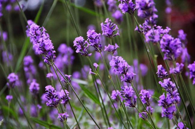 8 растений, которые отгоняют комаров на ура