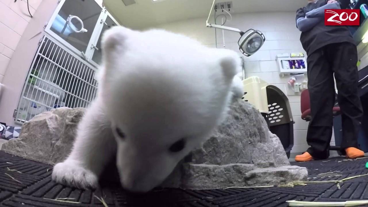Счастье белой медведицы, оказавшейся в бассейне со льдом