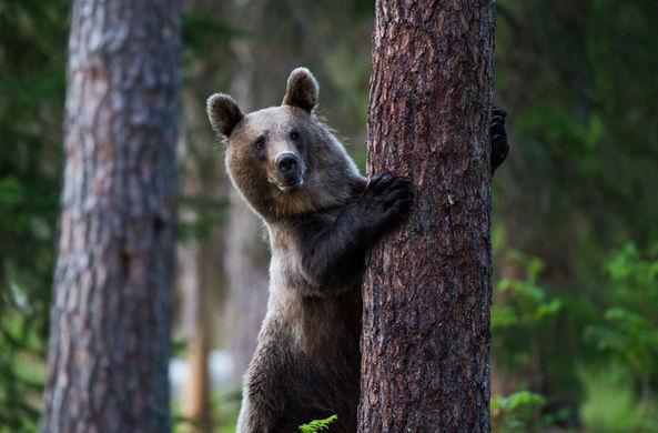 В Приморье медведь станцевал и попытался уничтожить «компромат»