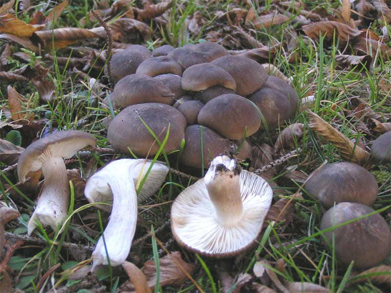 Рядовка - съедобные и несъедобные грибы, фото