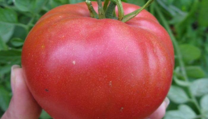 Что нужно знать при выращивании розовых томатов