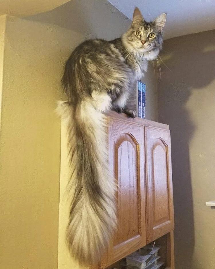 «Пушистая метёлка». Сигнус — кот с самым длинным хвостом в мире