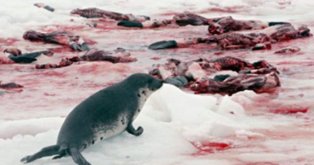Россия закрыла Баренцево море, или Вторая тюленья война