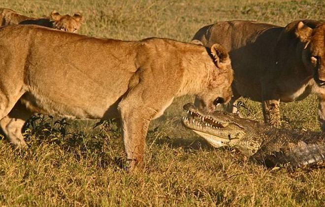 Схватка львиц и крокодила попала на камеру. Угадайте, кто победил?