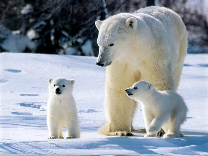 Царь Арктики-белый медведь