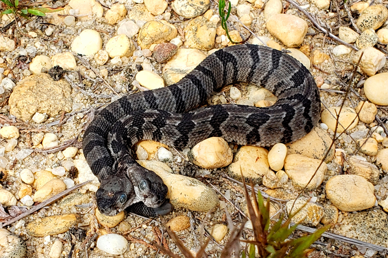 Раздвоение личности: в Штатах найдена змея с двумя конкурирующими головами