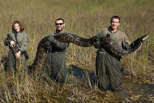 Полуостров чудовищ: пятиметровые питоны захватывают Флориду, и никто не может их остановить