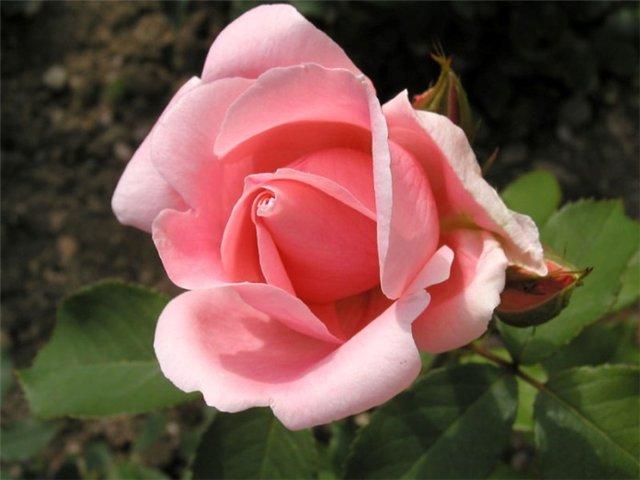 черная роза Путевые заметки: места, люди, события
