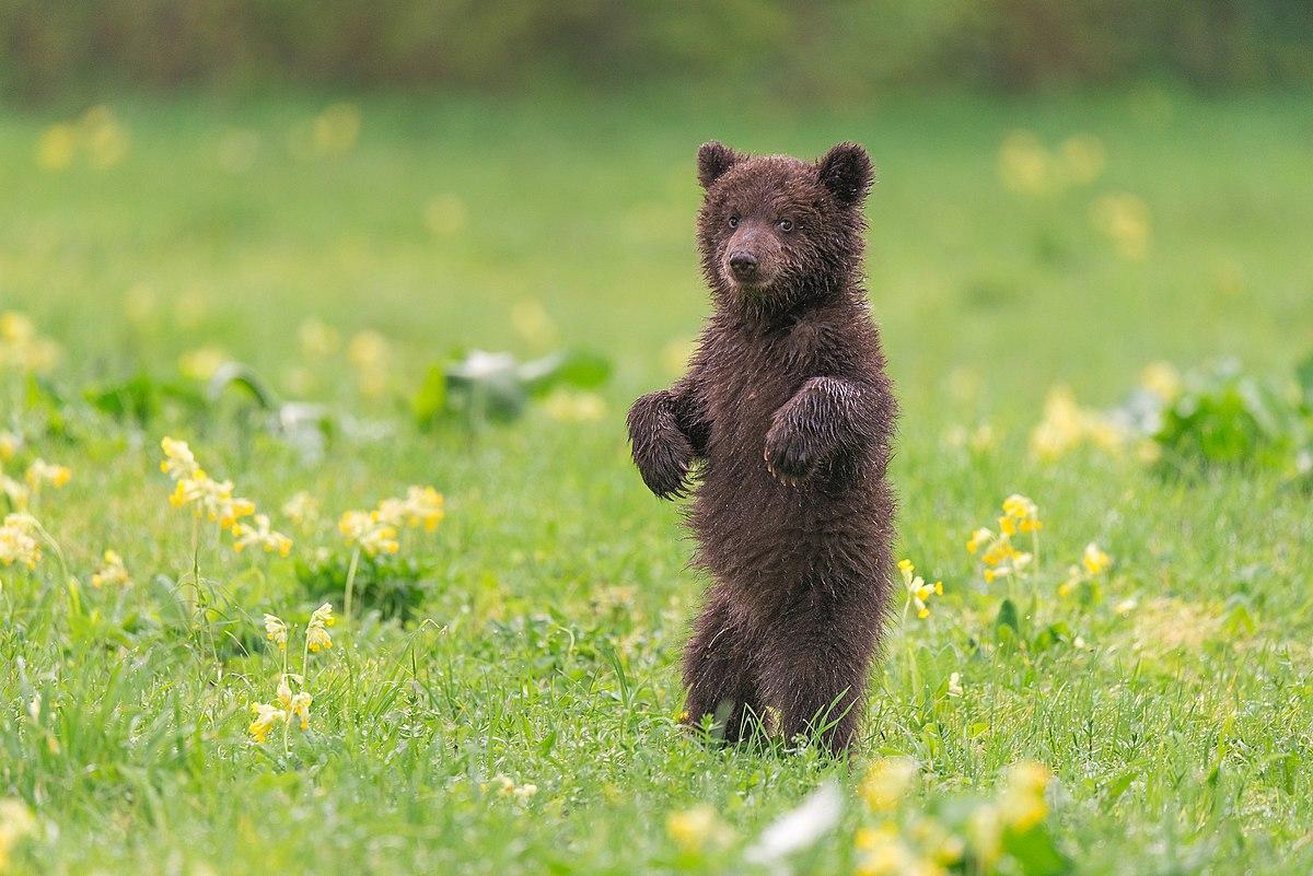 Cпасенному в Заполярье медвежонку ищут новый дом