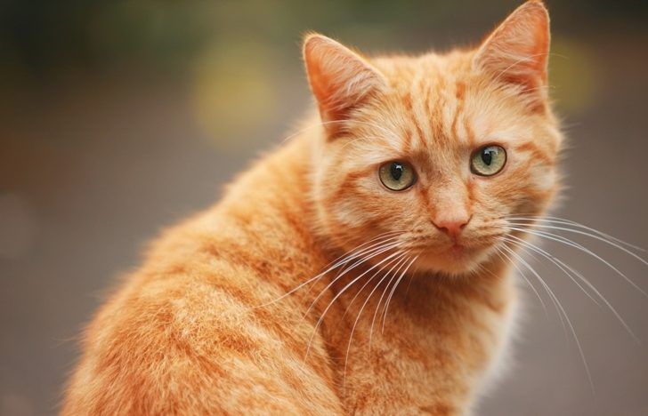 История о хитрой уловке рыжего кота…