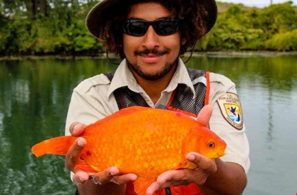 В Ниагаре поймали гигантскую золотую рыбку