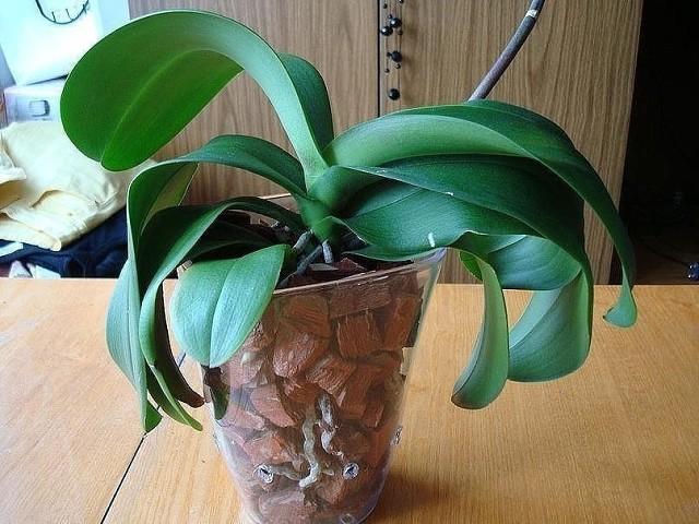 Пошаговая инструкция по пересадке фаленопсиса (орхидея)