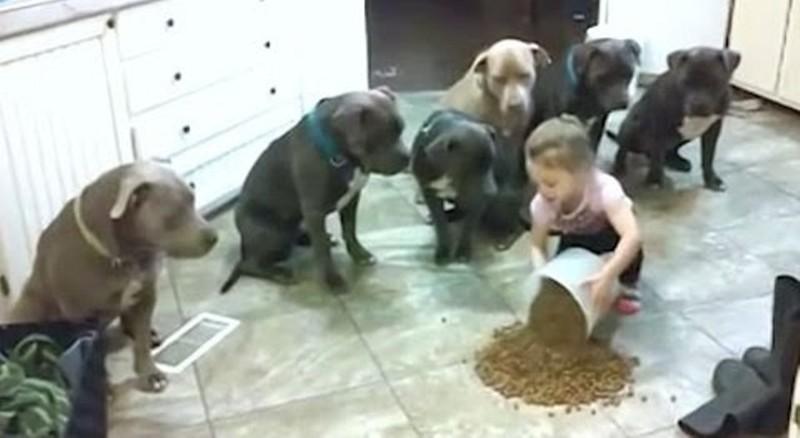 6 огромных голодных питбулей выполняют команды своей 4-летней хозяйки