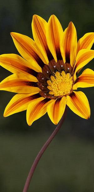 Гацания: многолетние и однолетние цветы