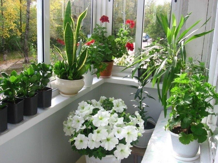 цветы на балкон несолнечная сторона попросила