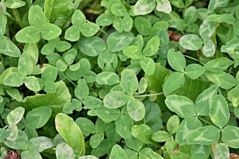 Клевер. Из цветков делают полезный чай, а листья идут в салат, суп или котлеты выживание, интересное, растения, съедобные