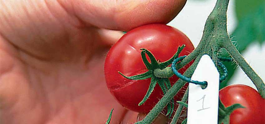 Как просто собрать и сохранить семена томатов