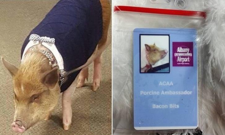 Вот такие свиньи работают в аэропорту!