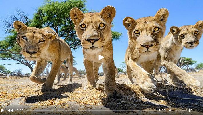 Кошки - они и в Африке кошки! Так близко львов еще не снимали!