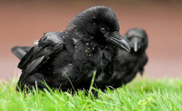 Любопытное о воронах