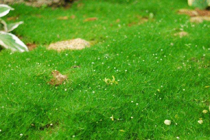 Мшанка шиловидная – мягкий мох для вашего участка